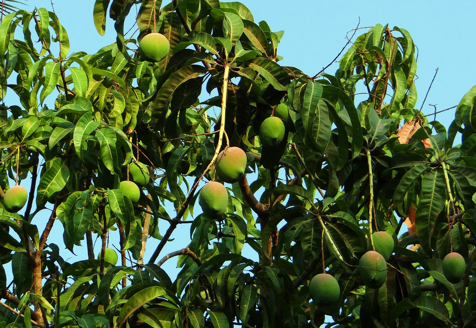 zona_logistica_mango_tree