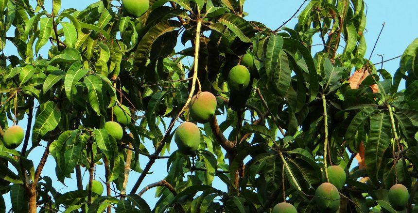 zona_logistica_mango_tree